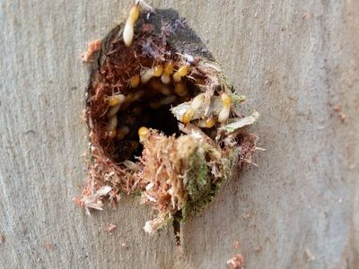 Termite colony found in tree | Senior Pest Management