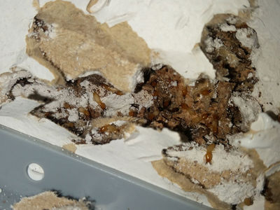 Termites munching wall cavity | Senior Pest Management
